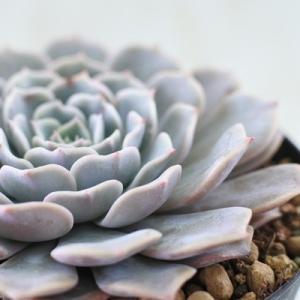 ■特徴 春秋型種 10℃〜25℃の過ごしやすい季節によく生長し、暑すぎたり、寒すぎる時期は休眠してし...