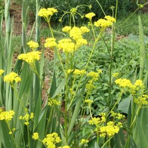 予約販売11月上旬以降発送 宿根草の咲く庭 オミナエシ 女郎花 大苗12cmポット パトリニア|flower-net