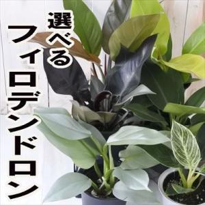 選べる フィロデンドロン 観葉植物 4号鉢|flower-net