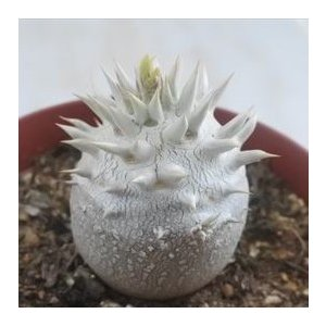 caパキポディウム 恵比寿大黒 多肉植物 パキポディウム コーデックス10.5cmポット flower-net