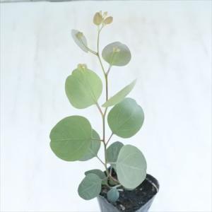 ユーカリ ポポラス 9cmポット ポプルネア 苗 観葉植物 ハーブ 常緑高木|flower-net