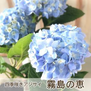 ■商品説明 霧島の恵みは四季咲きで5月から開花し始め、晩秋まで順次咲き続けます。また、秋になると花は...