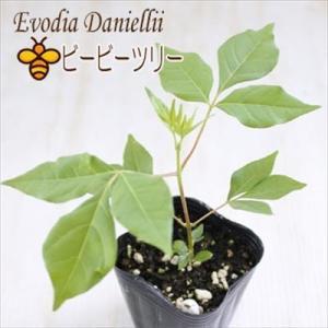 ビービーツリー 9cmポット 観葉植物 シンボルツリー 蜜源樹 ミツバチ|flower-net