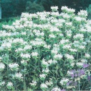 予約販売11月上旬以降発送 宿根草の咲く庭 モナルダ スノーメイデン 大苗12cmポット|flower-net