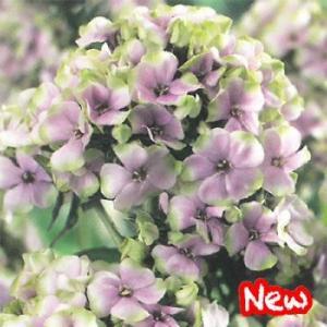 予約販売11月上旬以降発送 宿根草の咲く庭 フロックス ミスティックグリーン 大苗12cmポット|flower-net