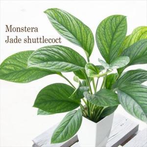 希少! モンステラ ジェイドシャトルコック 4号鉢 観葉植物 インテリア|flower-net