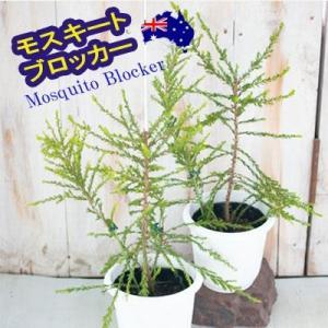 モスキートブロッカー 4号鉢 観葉植物 蚊避け 蚊除け ハーブ|flower-net