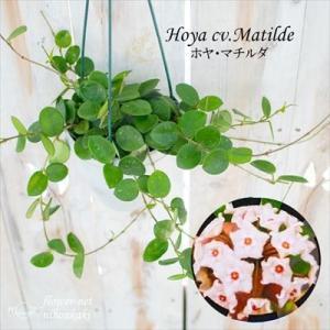 ホヤ マチルダ (カルノーサ×セルペンス) 4号鉢 吊り鉢 サクララン 観葉植物 インテリア|flower-net