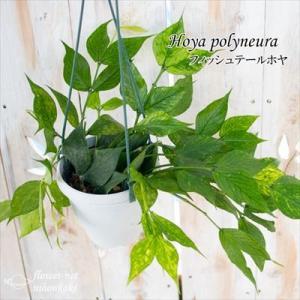 ホヤ フィッシュテールホヤ 4号鉢 吊り鉢 ポリノーラ 観葉植物 インテリア|flower-net