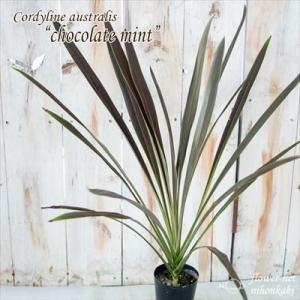 コルジリネ オーストラリス チョコレートミント 3号鉢 観葉植物 インテリア|flower-net