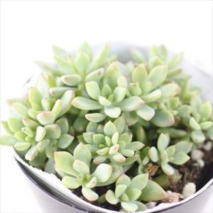■日当たり 春秋型種 10℃〜25℃の過ごしやすい季節によく生長し、暑すぎたり、寒すぎる時期は休眠し...