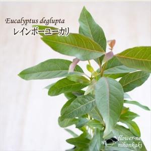 ユーカリ レインボーユーカリ 観葉植物 12cmポット|flower-net