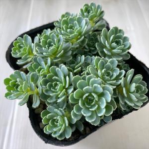 多肉植物 seセダム ローズセダム 9cmポット 多肉植物