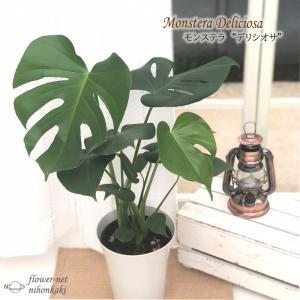 モンステラ デリシオサ 6号鉢 送料無料 観葉植物 インテリア おしゃれ