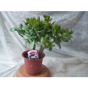 金のなる木 桜花月 観葉植物 多肉植物 4号鉢