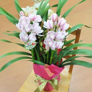 御歳暮 花 鉢花/シンビジューム(シンビジウム)/愛子さま 5本立ち/フラワーギフト|flower