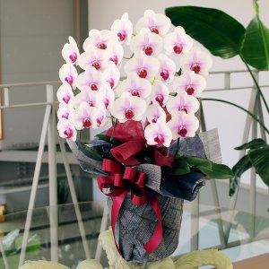 胡蝶蘭 3本立 セミアルファ 赤リップ 2Lサイズ 洋ラン 鉢 花 ギフト|flower