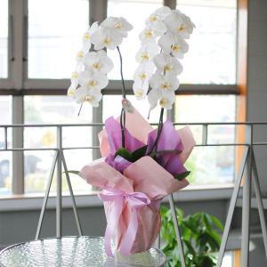 胡蝶蘭ギフト 2本立ち白DX 開店祝い胡蝶蘭 開院祝い 開業祝い 移転祝い胡蝶蘭|flower
