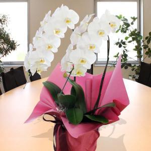 胡蝶蘭 2本立ち 白 鉢 花 ギフト 洋ラン|flower