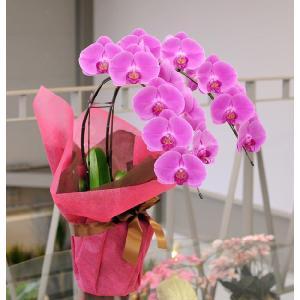 胡蝶蘭ギフト 2本立  ピンク 開店祝い胡蝶蘭 開院祝い 開業祝い 移転祝い胡蝶蘭ギフト|flower