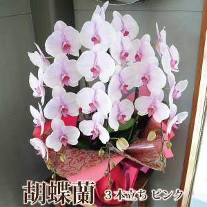 胡蝶蘭 3本立 ピンク Lサイズ 鉢 花 ギフト 洋ラン|flower