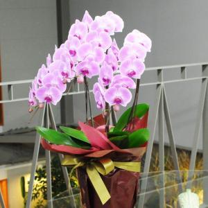 胡蝶蘭 3本立 ピンク 2Lサイズ 鉢 花 ギフト 洋ラン|flower