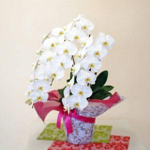 胡蝶蘭 3本立 白 2Lサイズ 鉢 花 ギフト 洋ラン|flower