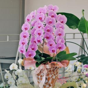 胡蝶蘭 3本立 ピンク 3Lサイズ 洋ラン 鉢 花 ギフト|flower