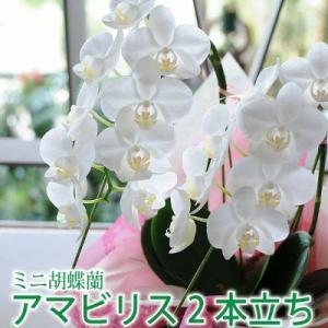 胡蝶蘭ギフト ミニ胡蝶蘭 アマビリス 2本立ち 開店祝い胡蝶蘭 開院祝い 開業祝い 移転祝い胡蝶蘭ギフト|flower