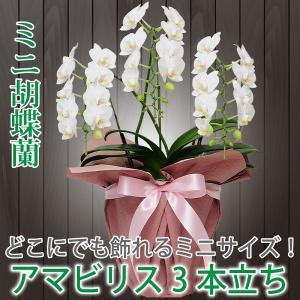 鉢植え ギフト プレゼント 花 洋ラン ミニ 胡蝶蘭 アマビリス 3本立ち 胡蝶蘭|flower