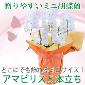 特別価格! 鉢植え ギフト プレゼント 花 洋ラン ミニ 胡蝶蘭 アマビリス 5本立ち 胡蝶蘭|flower