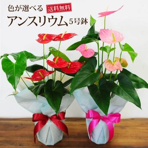 観葉植物 アンスリウム アンスリューム 赤 レッド  鉢植え|flower