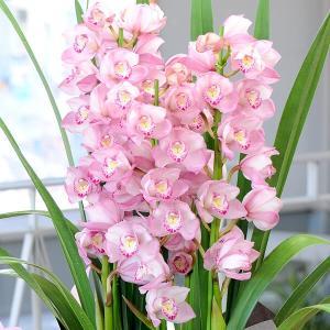 シンビジューム シンビジウム ピンク系 4本立ち 蘭鉢植え プレゼント お歳暮 ギフト