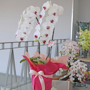 胡蝶蘭 2本立 セミアルファ 赤リップ DXサイズ 洋ラン 鉢 花 ギフト|flower