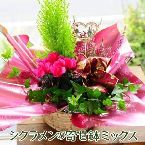 花 ギフト 鉢 寄せ鉢 寄せ植え 冬期限定 シクラメン入り寄せ鉢ミックス ギフト 寄せ植えギフト  翌日配送|flower