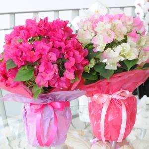 母の日2019 ブーゲンビリア ブーゲンビレア  5号鉢 産地直送 花 贈る プレゼント 鉢植え ギフト 送料無料|flower