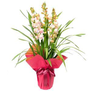 シンビジュームプリンセスマサコ3本立ち/お歳暮ギフト・ウインターギフト/シンビジウム フラワーギフト|flower