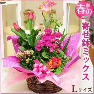 春の寄せ鉢ミックス Lサイズ チューリップ 鉢植え 誕生日 お祝い プレゼント 花ギフト鉢|flower
