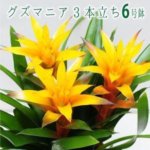 観葉植物 グズマニア 3本立ち 6号鉢 鉢  フラワーギフト|flower