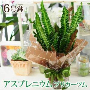 観葉植物 アスプレニウム プリカーツム アカキ 6号鉢  鉢  フラワーギフト|flower