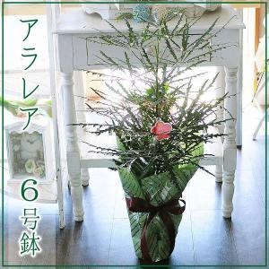 アラレア (ディジゴセカ) 観葉植物 6号鉢 フラワーギフト flower