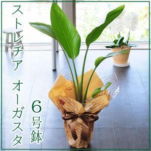 オーガスタ 観葉植物 6号鉢 ストレリチア オーガスタ ストレチア オーガスタ フラワーギフト|flower