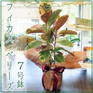 フィカス ベリーズ 7号鉢 ゴムの木 観葉植物 開店祝い 移転祝い 新築祝い|flower