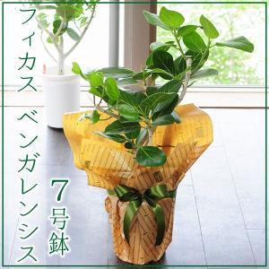 フィカス ベンガレンシス 7号鉢 ゴムの木 観葉植物 開店祝い 移転祝い 新築祝い|flower