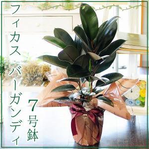 フィカス バーガンディ 7号鉢 ゴムの木 観葉植物 開店祝い 移転祝い 新築祝い|flower
