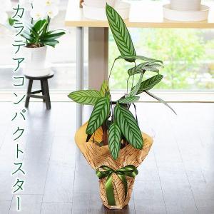 カラテア コンパクトスター 6号鉢 観葉植物 鉢  フラワーギフト|flower