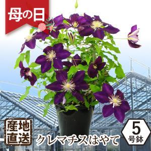 母の日 2019 花 鉢花 産地直送 クレマチス はやて 花 プレゼント 鉢植え 母の日ギフト クレマチス鉢花 送料無料|flower