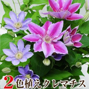母の日 2019 ギフト 2色植えクレマチス 6号鉢 花 プレゼント 鉢植え 母の日ギフト2018 クレマチス鉢花 産地直送 送料無料|flower