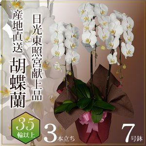 蘭のフレンズ 胡蝶蘭3本立 35輪以上 7号鉢 産地直送 開店祝い胡蝶蘭 開院祝い 開業祝い 移転祝い胡蝶蘭ギフト|flower