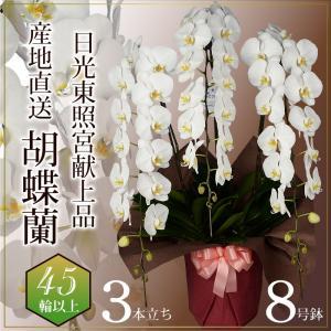 蘭のフレンズ 胡蝶蘭3本立 45輪以上 8号鉢 産地直送 開店祝い胡蝶蘭 開院祝い 開業祝い 移転祝い胡蝶蘭ギフト|flower